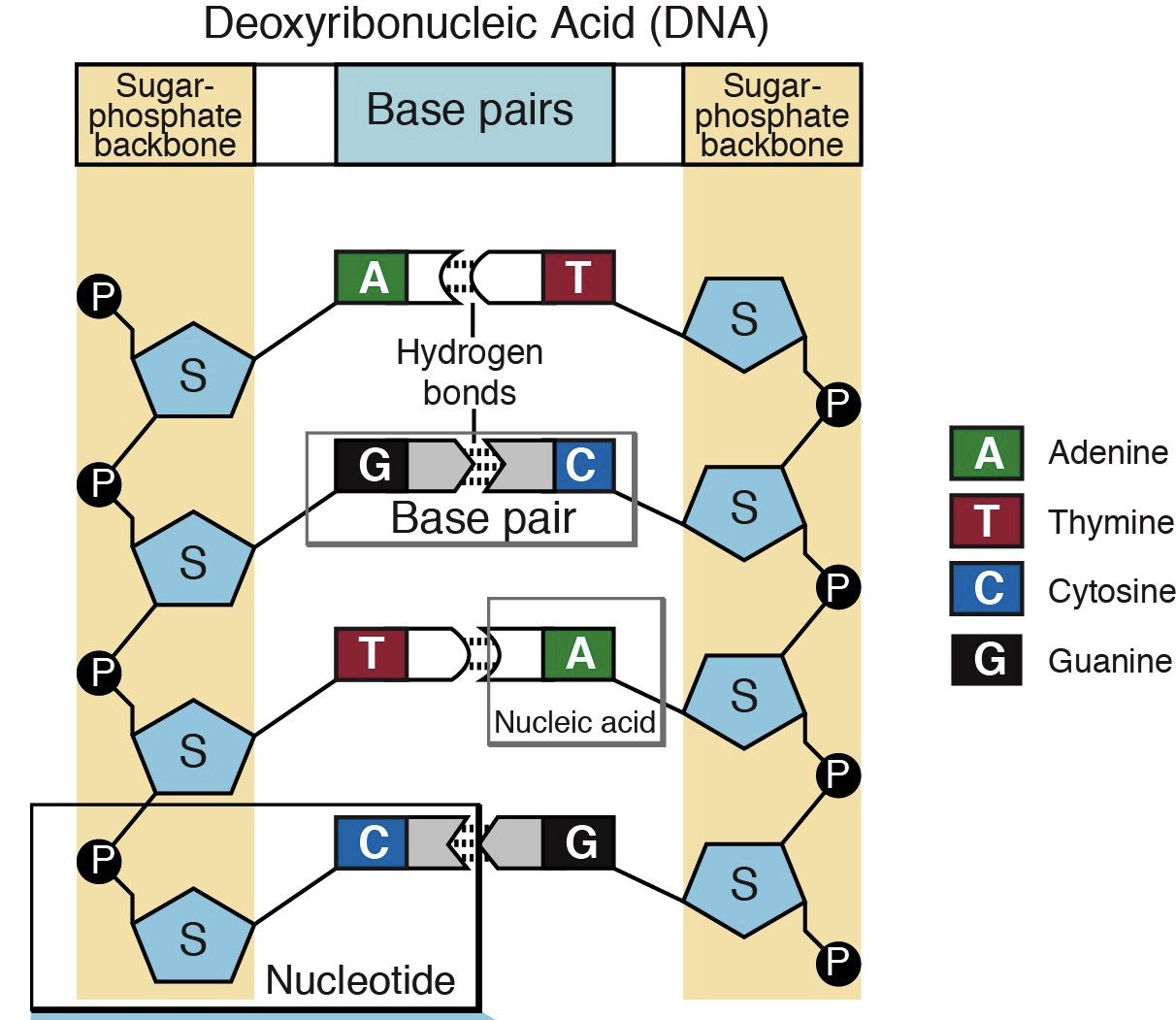 Which Nucleotides Are Used To Build Rna